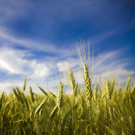 Ripened spikes of wheat field against a clear blue sky Stock Photo