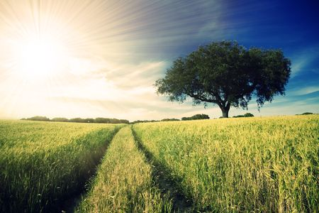 Country road in golden yellow field to the distant horizon under a blue cloudy sky and shiny sunrays photo