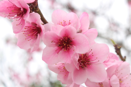 Close up of blooming cherry blossom pink flowers 스톡 콘텐츠
