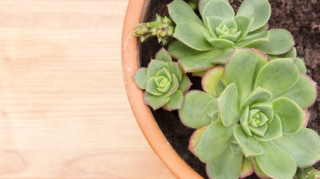 Closeup of pot with succulent Echeveria plant, from Crassulaceae family. Light colored wooden surface with copy space.