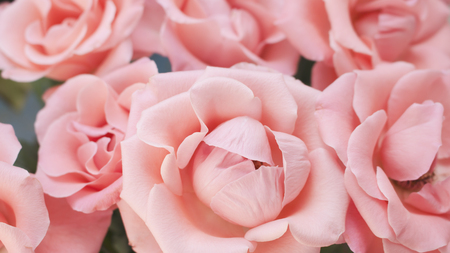 Close up of blooming light pink roses. Rose petals with lovely shade of light pink.