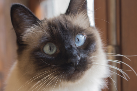 Close up of face of beautiful siamese cat with expressive blue eyes. Cute little cat lose and long white whiskers.