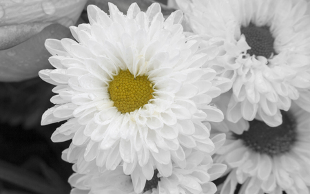 Close up of white chrysanthemum flower in full bloom with heart shaped center. Romantic background and love concept.