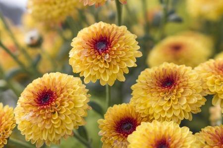 Macro van bloeiende Lollipop gele chrysant bloemen met waterdruppels in het midden van ochtenddauw. Wazige achtergrond. Stockfoto