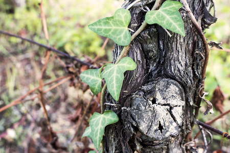 Macro of Common Ivy growing over old trunk of grape-bearing vine. Also known as Hedera helix, English or European ivy.
