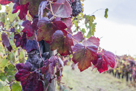 Macro of old red leaves of grape-bearing vine, with blurred vineyard in background. End of harvest season in winemaking.