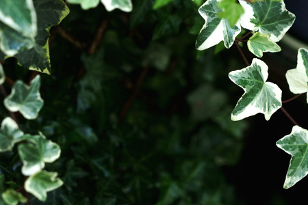 Beautiful and lush green leaves of Common Ivy in the corners, with blurry background and copy space in the center. Standard-Bild