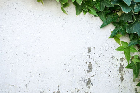 Rustic and damaged white wall half covered by Common Ivy. Also known as Hedera helix, English ivy or European ivy.