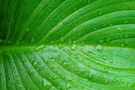 Macro of Arum Lily leaf with water drops from morning dew. Beautiful natural background with copy space.