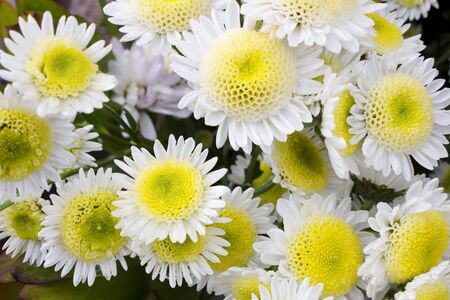 Close-up of several yellow and white chrysanthemum flowers in full bloom. Also called mums or chrysanths
