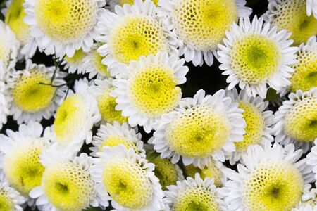 Close-up shot of several yellow and white chrysanthemum flowers in full bloom. Also called mums or chrysanths