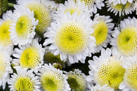 Close-up of big white chrysanthemum flower surrounded by smaller chrysanthemums. Also called mums or chrysanths