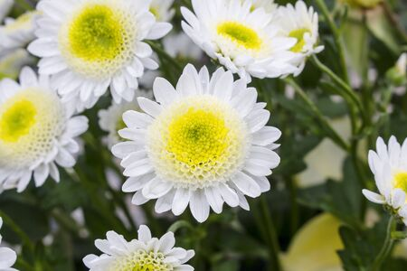 Close up of big white chrysanthemum flower surrounded by smaller yellow and white chrysanthemums, in blurry background. Stockfoto