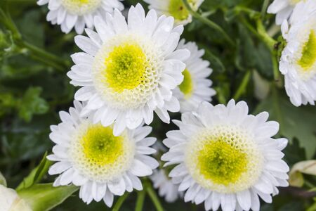 Close up of three beautiful yellow and white chrysanthemum flowers in full bloom. Also called mums or chrysanths.