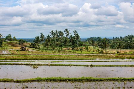 A typical landscape in rural Bali with rice paddy fields and palm trees. Dramatic cloudy sky in Jatiluwih, Indonesia. Stockfoto