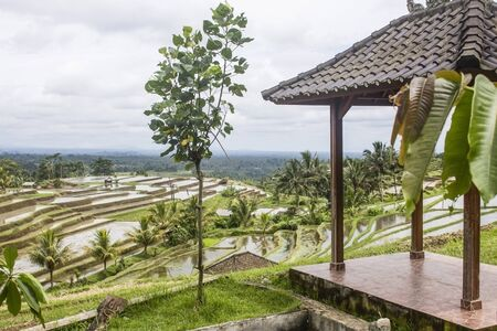 Young tree next to a gazebo, with view to the wet rice paddy fields and palm trees in Jatiluwih, Bali island.