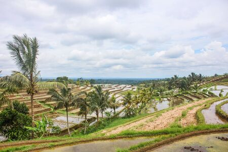 Flooded rice paddy terraced fields in an early stage of growth, in rural Bali. Tropical scene in Jatiluwih, Indonesia. Stockfoto