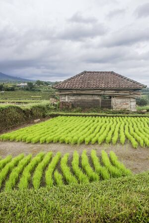Hut used to save cattle surrounded by a rural landscape of a green rice field. Agriculture in Indonesia concept. Bali Stockfoto