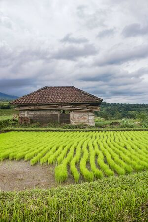 Rural Bali scenery with green rice field and a hut used to save cattle. Agriculture in Indonesia concept. In Jatiluwih