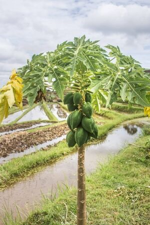 Green papayas growing on tree with some yellow leaves. Irrigated rice terraces during a cloudy day as background.