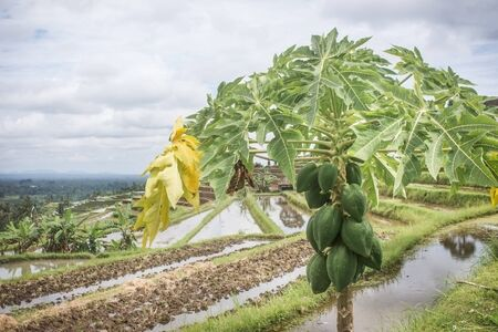 Green papayas growing on tree with some yellow leaves. Typical Balinese landscape with rice paddies as background. Bali