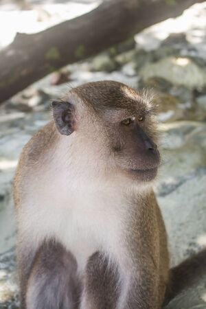 Thai macaque looking sideways with a serious expression, sitting in white sand at Monkey Beach. In Phi Phi Don, Thailand