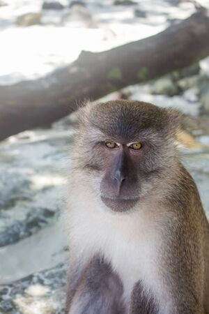 Thai macaque looking directly at camera with a serious expression, sitting in Monkey Beach sand at Phi Phi Don, Thailand