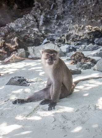 Thai macaque with serious expression sitting alone at the white sand Monkey Beach in Phi Phi Don island, Thailand