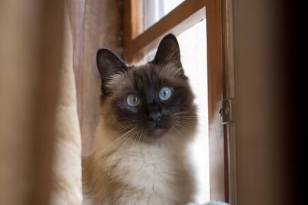 Adorable siamese cat with perfectly round blue eyes looking surprised and intrigued, next to rustic wooden window.