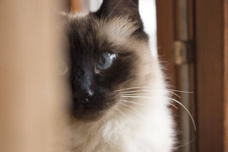 Face of gorgeous siamese cat with big blue eyes half hidden by curtains. Shallow depth of field of wooden window.