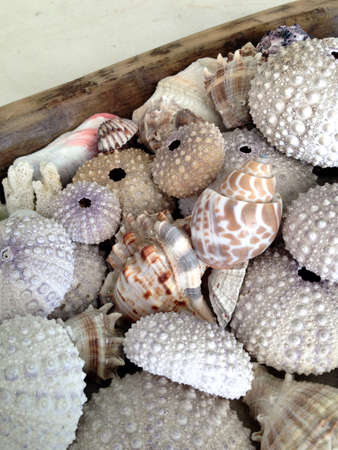 Composition of sea urchin shells, conch and seashell