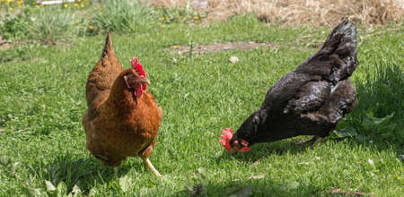 Close-up portrait of two hens on a green grass background. The farm. Hens walk in the yard of the farm. The concept of rural life. Agriculture. Country life