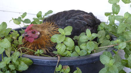 bantam hen: Bantam hen sitting in a pot of mint