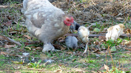 bantam hen: Bantam Hen with chickens Stock Photo