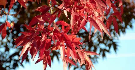 ash tree: foglie rosse autunnali di albero di cenere Archivio Fotografico