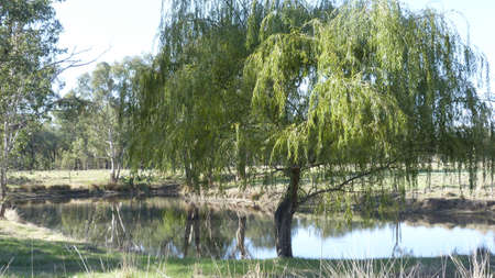 waterhole: Abrevadero australiano con sauce Foto de archivo