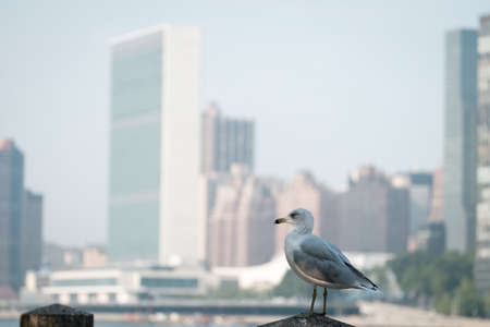 united nations: Seagull standing on a fence. Blurred UN United Nations Headquarters in the background. Stock Photo