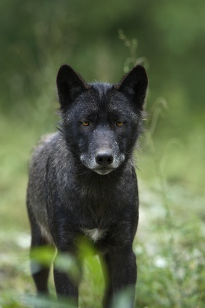 Black timber wolf (Canis lupus)