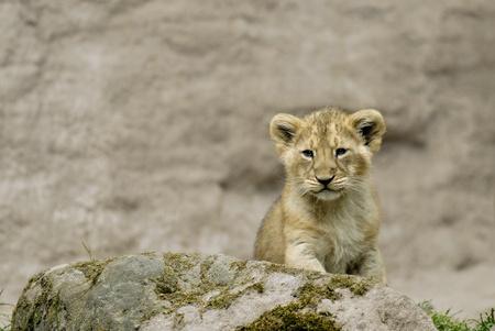 panthera leo: Lion cub (Panthera leo) Stock Photo