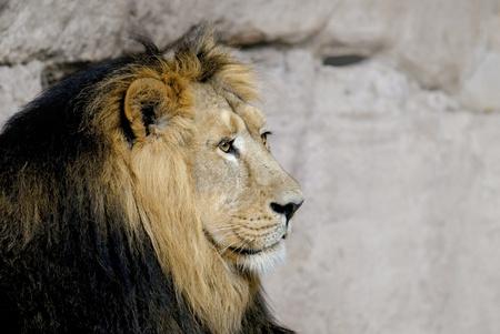 lions rock: Capital male lion (Panthera leo)