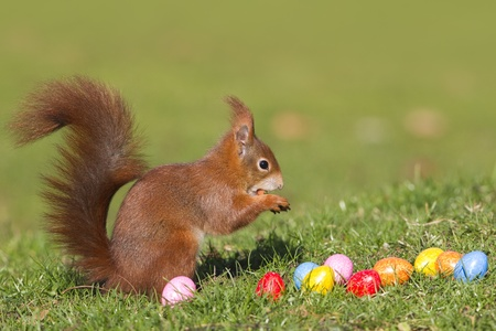 red squirrel: Red squirrel with easter eggs