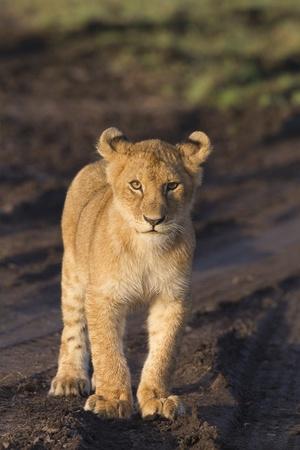 panthera leo: Cachorro de Le�n africano (Panthera leo)