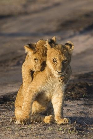 panthera leo: Two playful lion cubs (Panthera leo), Africa