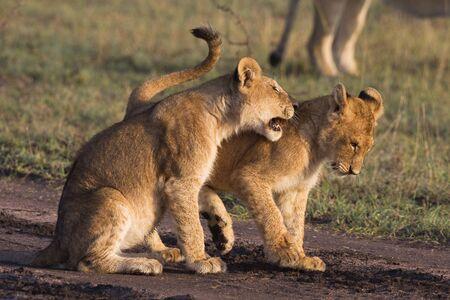 panthera leo: Cachorros de Le�n africano (Panthera leo)