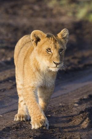 panthera leo: African lion cub (Panthera leo) Stock Photo