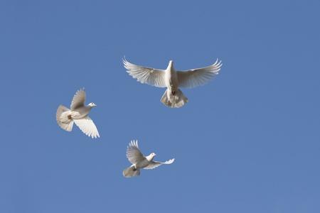 White doves in flight against blue sky Standard-Bild