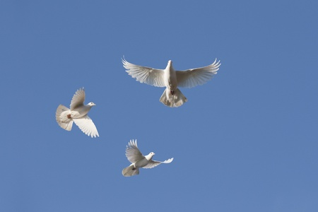 doves: White doves in flight against blue sky Stock Photo