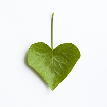 하트 모양의 아이비 잎 화이트에 격리입니다 스톡 콘텐츠