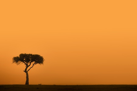 savanna: African acacia tree at sunset