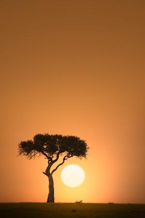 일몰 아프리카 아카시아 나무 실루엣